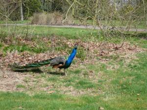 EM Castellan - Kew Gardens - Peacock